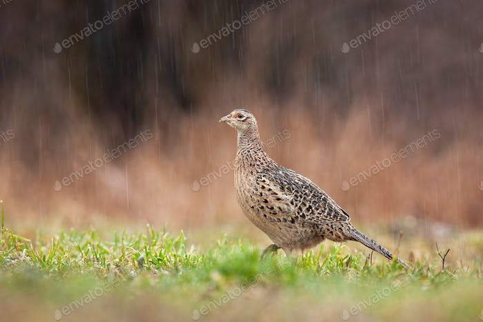 Female common pheasant hen walking on meadow in rain