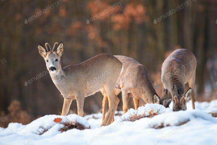 Three roe deer bucks feeding and looking in winter nature