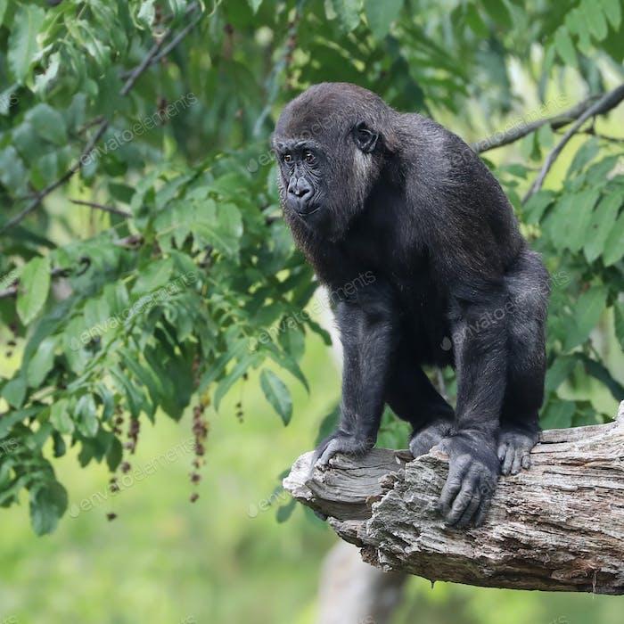 Gorilla portrait in natural habitat