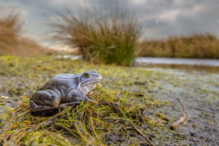 Blue Moor frog in breeding habitat