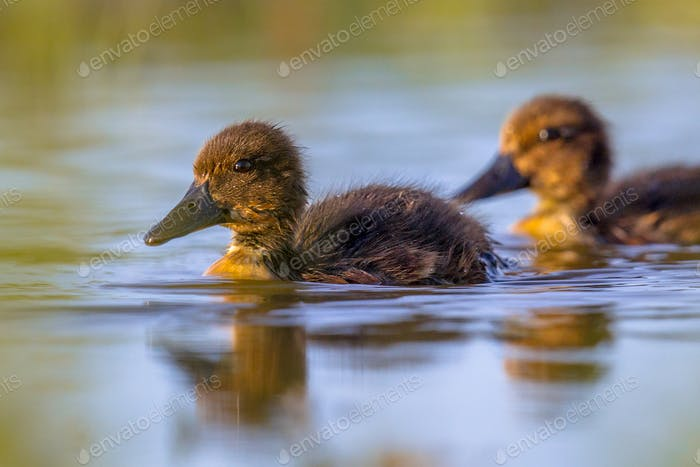 Cute ducklings swimming and looking surprised in the camera