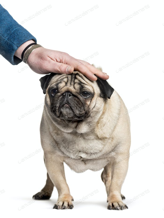 pug being patted on the head standing against white background, carlin