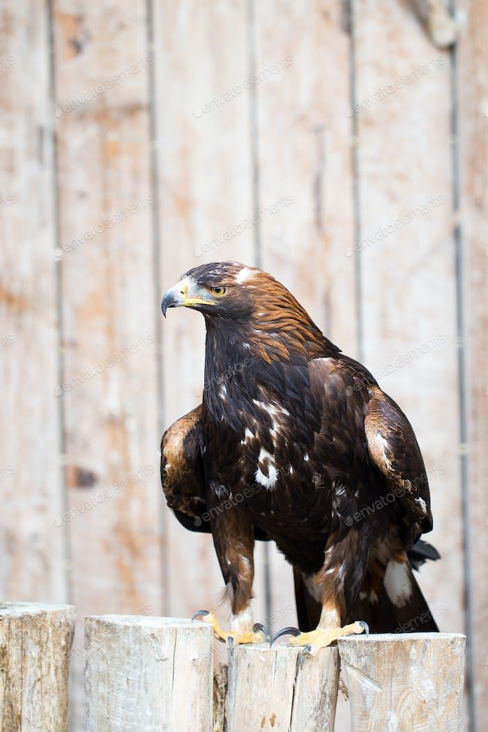 Spanish imperial eagle - Hunting eagle.