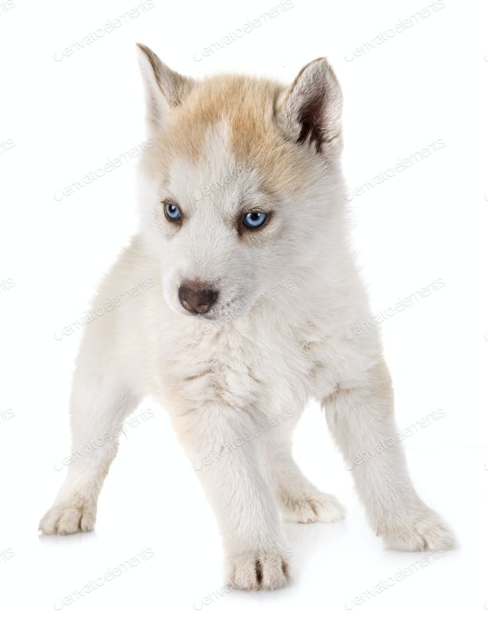 puppy siberian husky