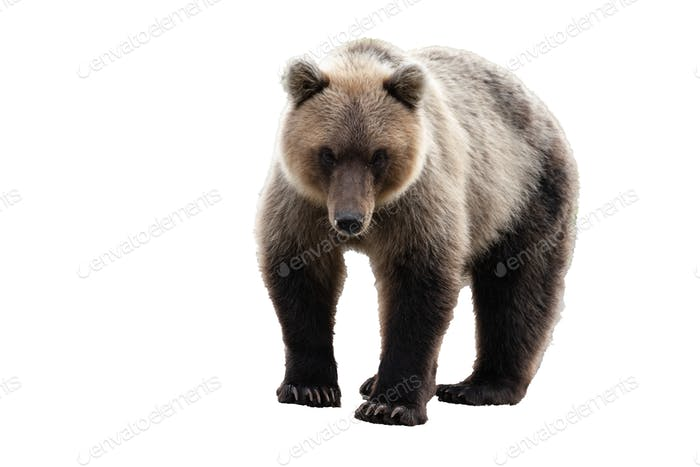 Wild Kamchatka Brown Bear. Isolated on White Background, Copy Space