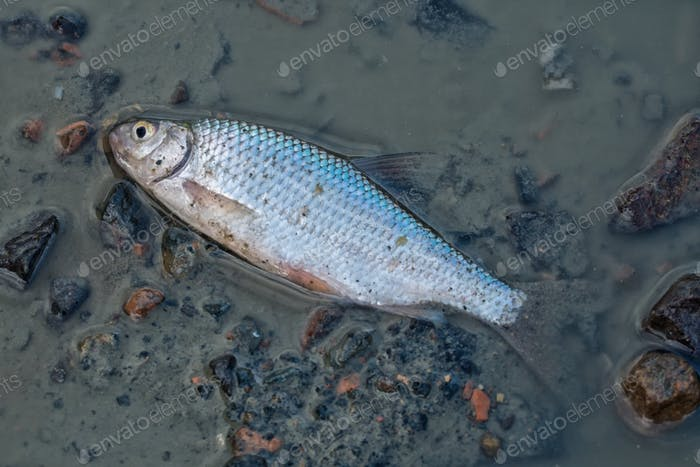 A dead fish at the bottom of the pond