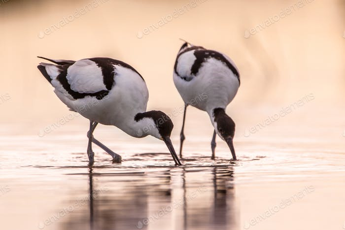 Pair of foraging pied avocet