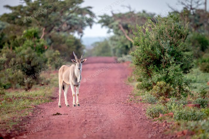 Eland standing in the road and starring.
