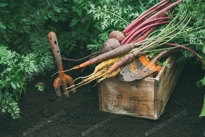 Harvest beets and carrots.