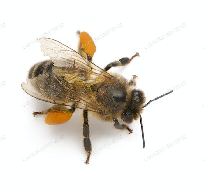 Western honey bee or European honey bee, Apis mellifera, carrying pollen,