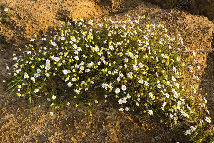 Chamomile flowers blooming in the desert