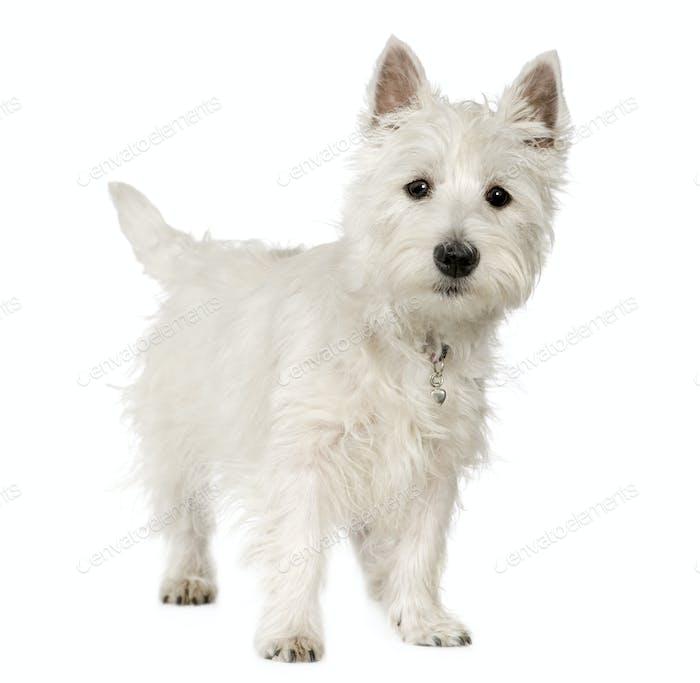 West Highland White Terrier (5 months)