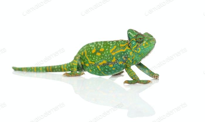 Yemen chameleon - Chamaeleo calyptratus - isolated on white