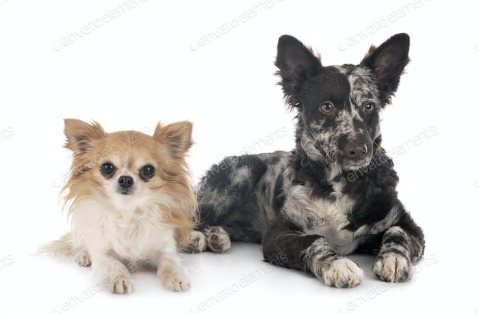 puppy mudi and chihuahua