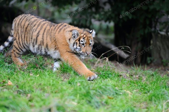 Porträt eines Tigerjunges