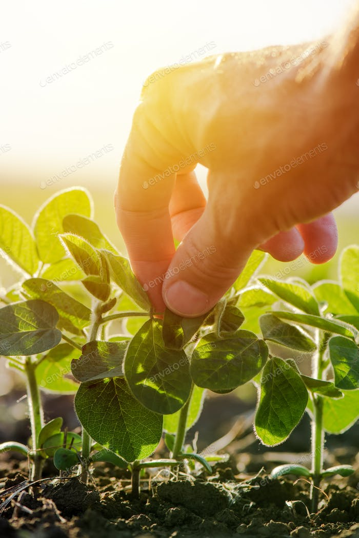 Close up of male farmer hand examining soybean plant leaf