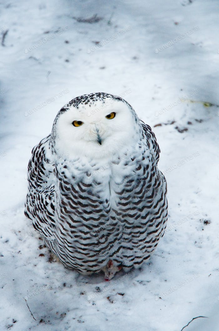 Snow owl sitting