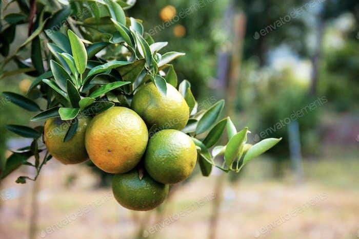 Ripe orange on tree