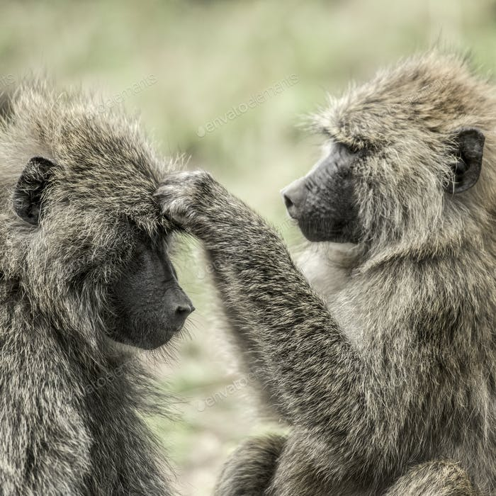 Olive baboon searching food on the head of the other, in Serengeti National Park