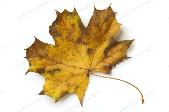 Single maple tree leaf in autumn