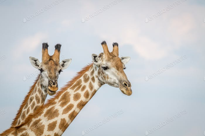 Close up of two Giraffes in Chobe.