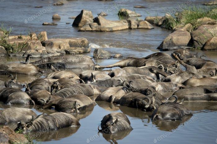 Dead wildebeest in river, Tanzania, Africa