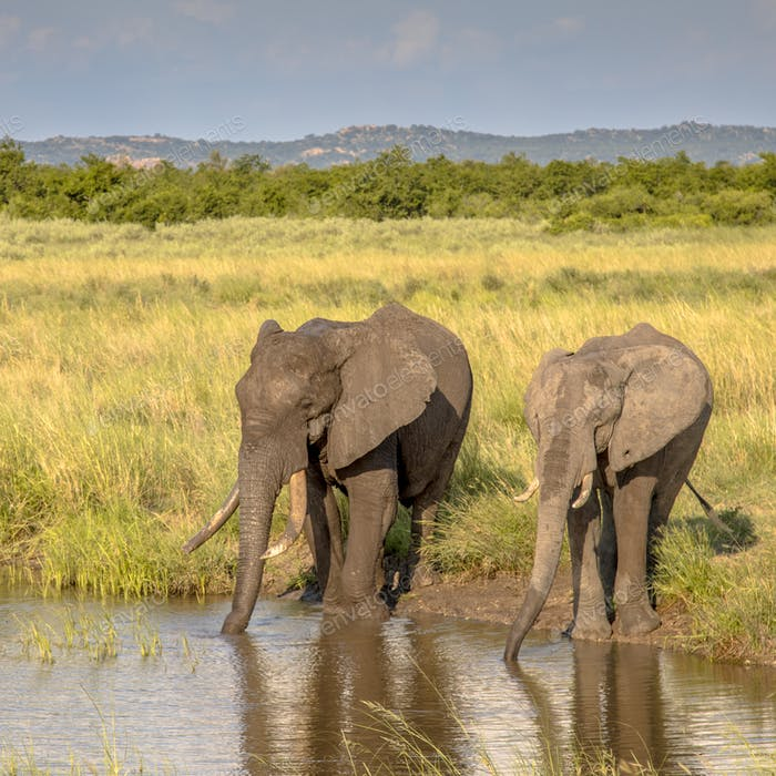 Two African Elephants drinking square