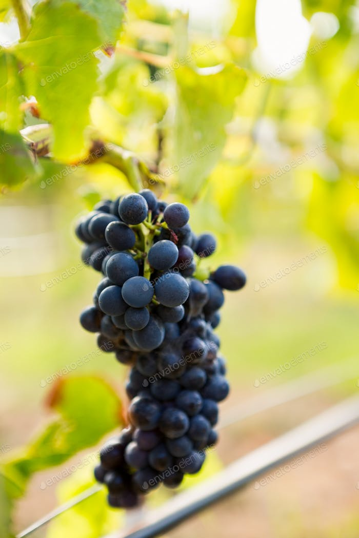 Close-up of grapes growing