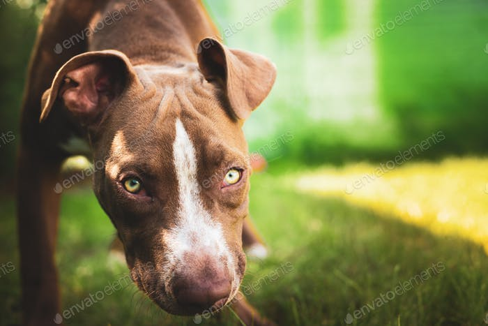 Young pitbull Staffordshire Bull Terrier in garden looks towards camera background portrait