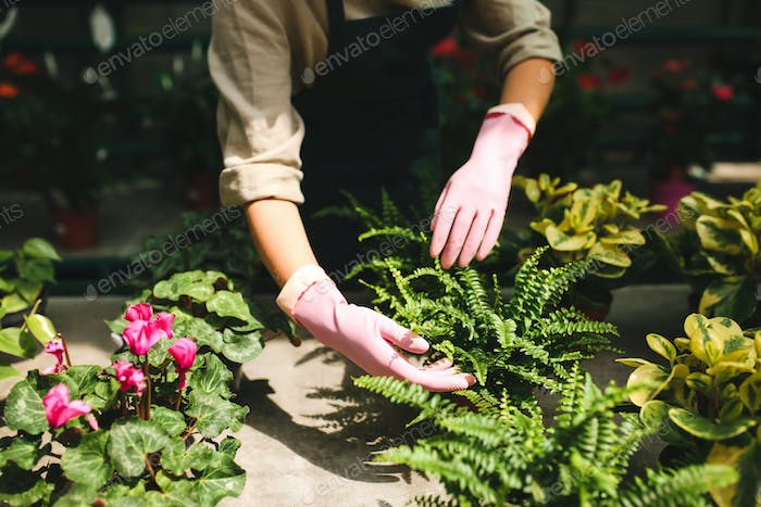 Close up woman hands in pink gloves caring about flowers and plants in greenhouse