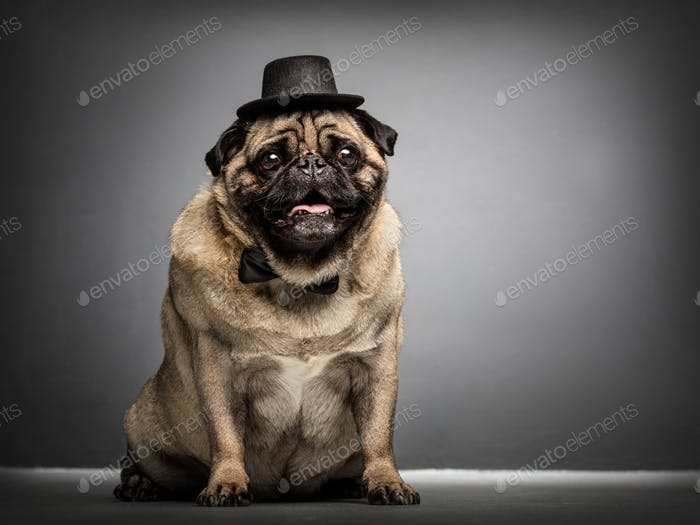 Sir pug dog in a cylinder and bowtie.
