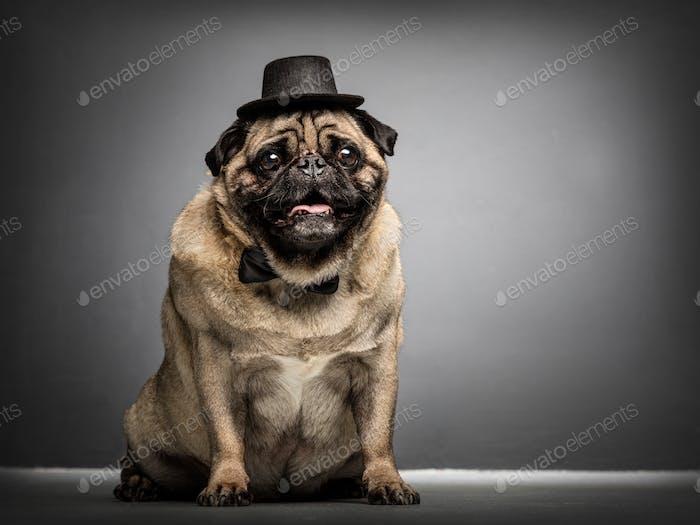 Sir Mops Hund in einem Zylinder und Fliege.