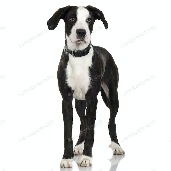 Welpe American Staffordshire Terrier gekreuzt mit einem Berner Berg Hund (7 Monate)
