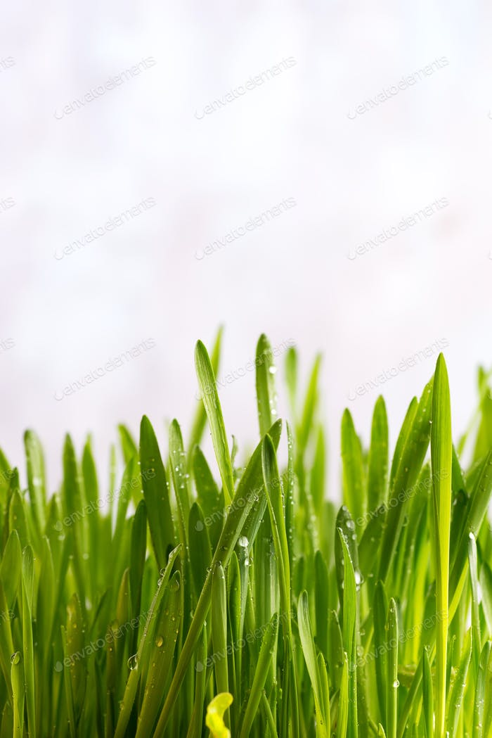 Fresh Green Grass with Drops Dew isolated on white with copy space, Easter concept