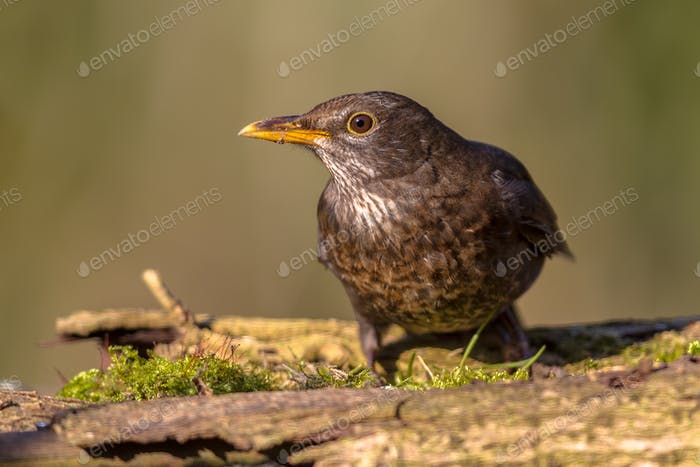 Female Common Blackbird looking down