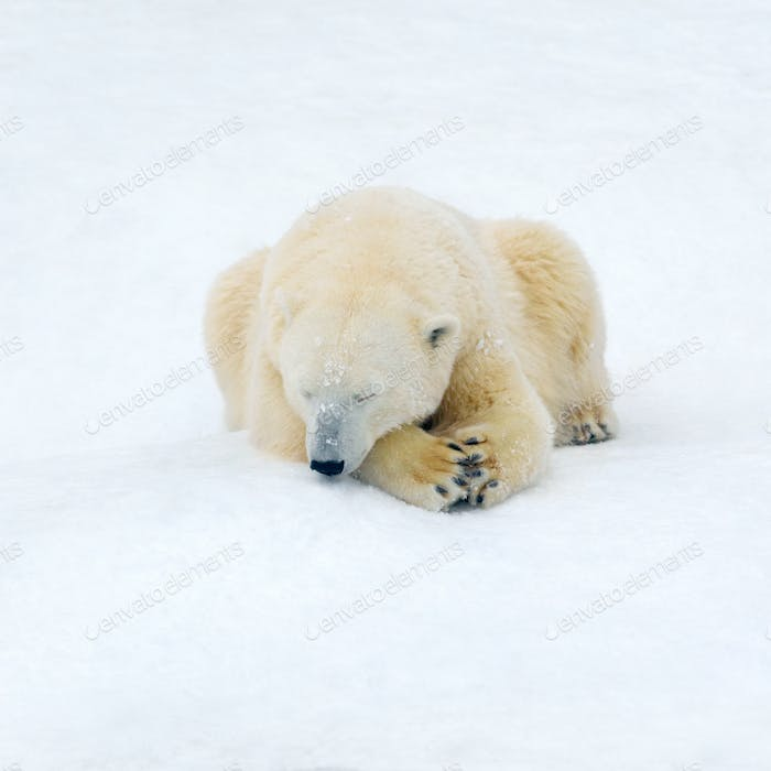 Polar bear on white snow