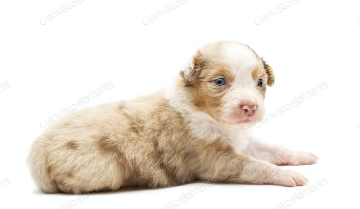 Australian Shepherd puppy, 22 days old, lying and looking away against white background