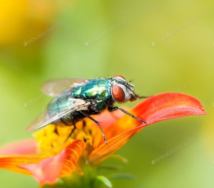 Macro of a fly on a red flower blossom