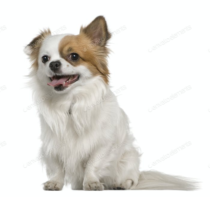 Chihuahua, 3 years old, sitting in front of white background