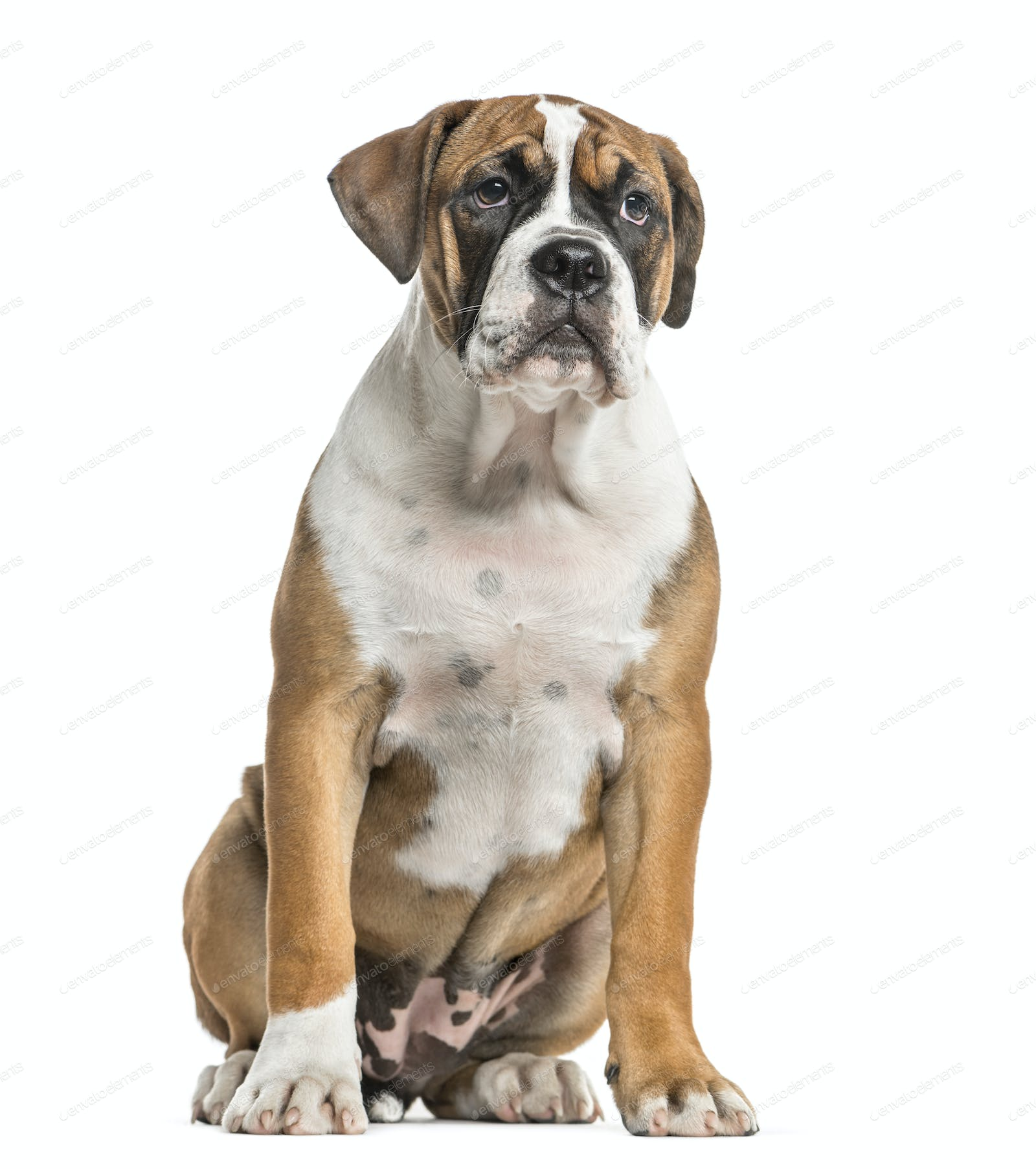 Mixed Breed English Bulldog And Boxer