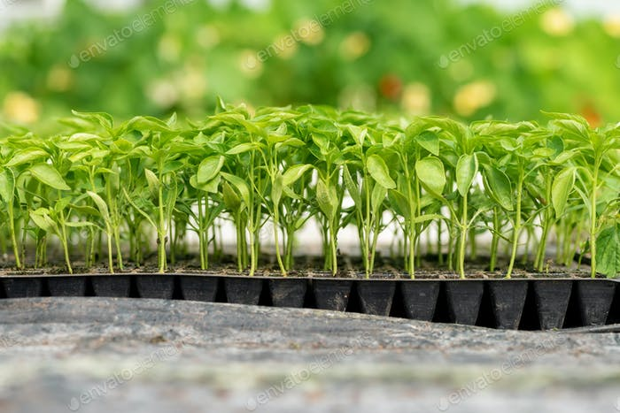 Small seedlings growing in cultivation tray