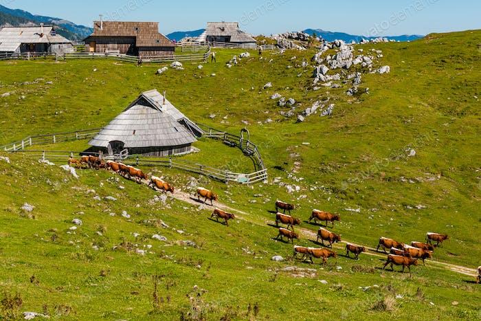 Velika Planina or Big Pasture Plateau in Slovenia. Traditional A