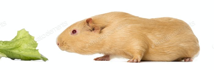 Guinea pig close to eat a leaf of salad , isolated on white