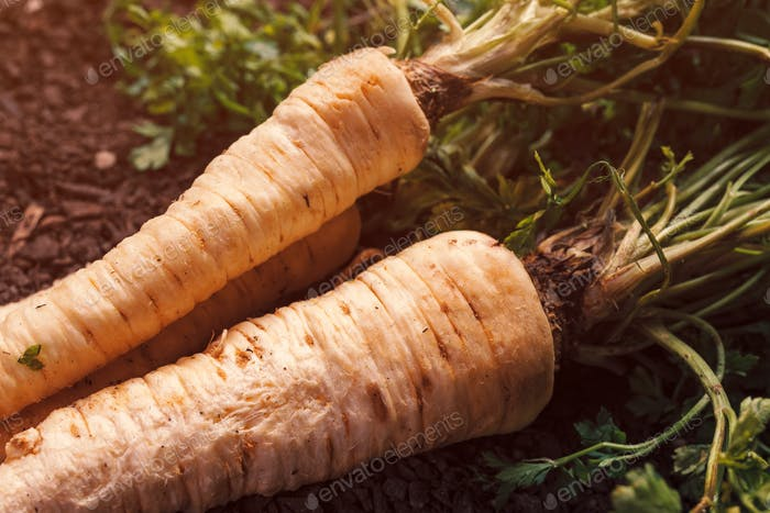 Organic parsley growing concept with freshly harvested root