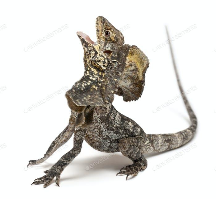 Frill-necked lizard also known as the frilled lizard, Chlamydosaurus kingii
