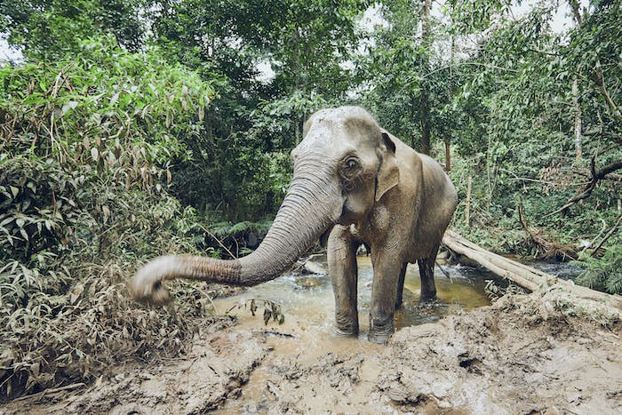 Asian elephant in jungle