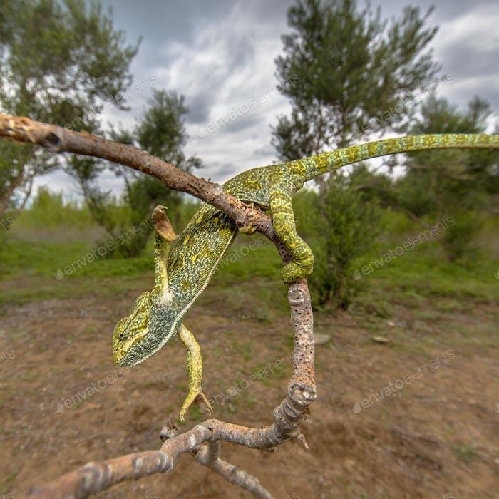 African chameleon climbing in habitat landscape