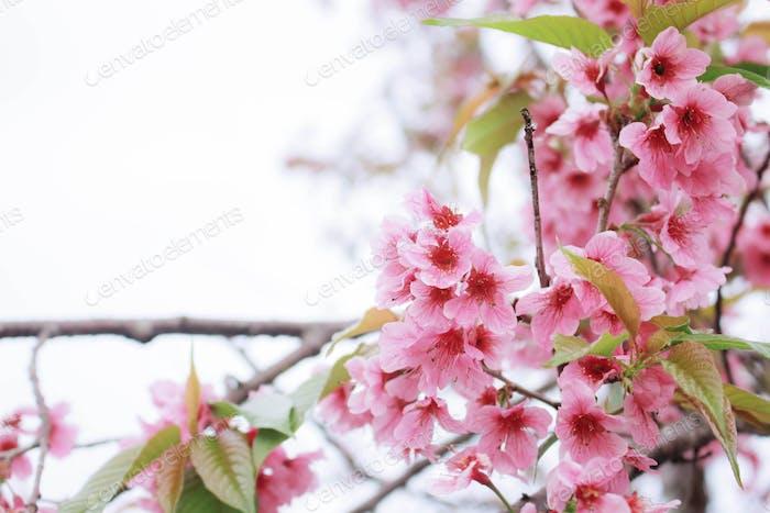 Schön von Sakura