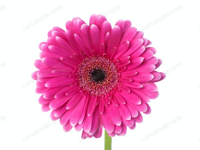 Pink and white gerbera front view