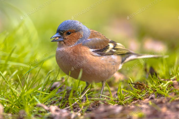 Chaffinch on lawn profile looking